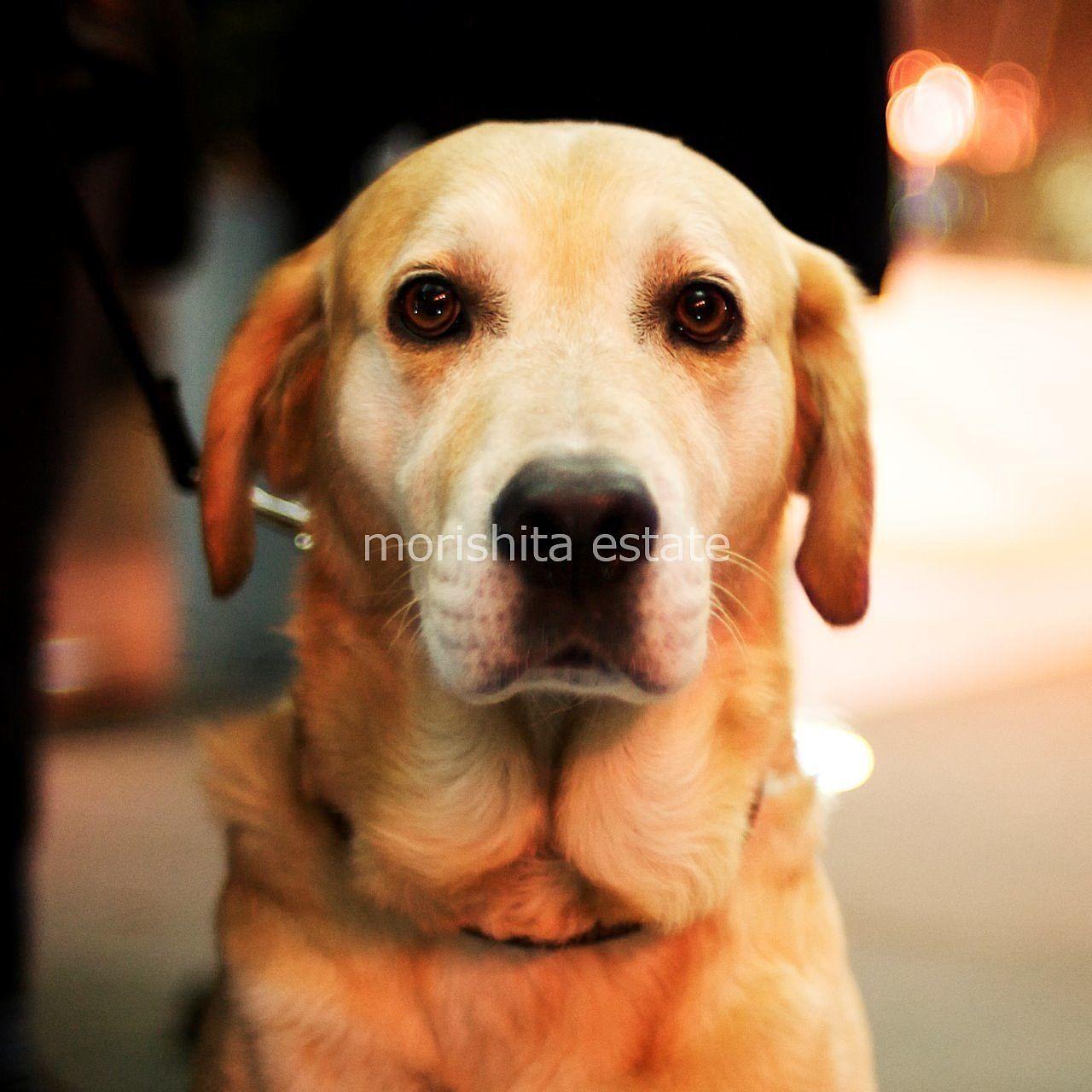 大型犬可物件 ラブラドールレトリバー 写真