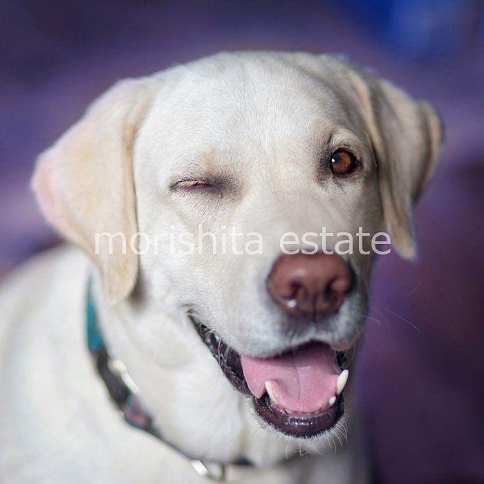 大型犬飼育可能募集 ラブラドールレトリバー 写真